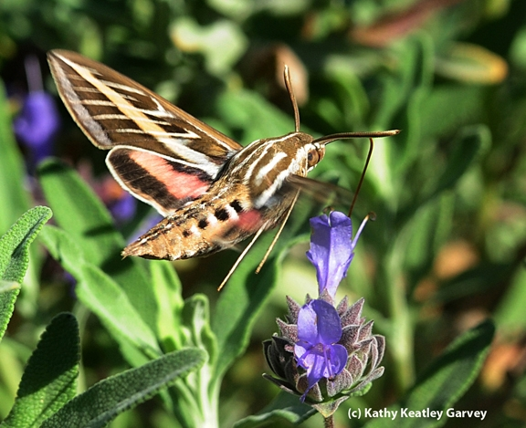 White-lined sphinx moth,  Hyles lineata. (Photo by Kathy Keatley Garvey)