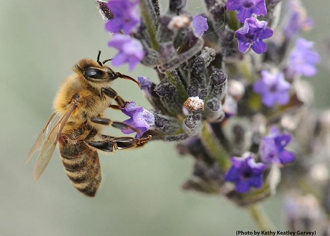 A varroa mile clings to a forager  (worker bee) as the bee nectars on lavender. (Photos by Kathy Keatley Garvey)