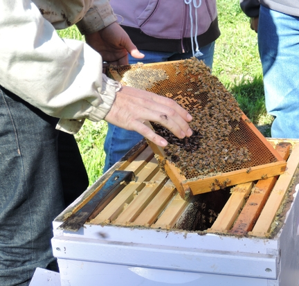 Pulling out a frame at a bee class at the Harry H. Laidlaw Jr. Honey Bee Research Facility. (Photo by Kathy Keatley Garvey)