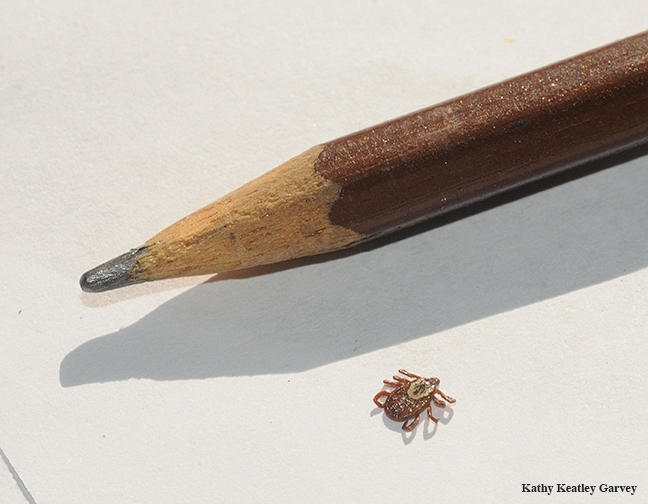 Tick found on a dog; size comparison with pencil. (Photo by Kathy Keatley Garvey)