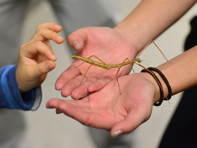 Walking sticks are popular attractions at the Bohart Museum of Entomology. (Photo by Kathy Keatley Garvey)