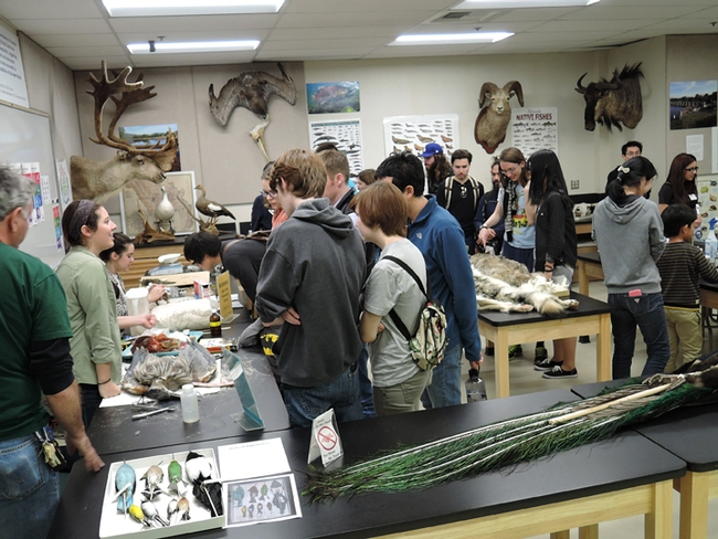 Visitors examine the Museum of Wildlife and Fish Biology displays. (Photo by Kathy Keatley Garvey)