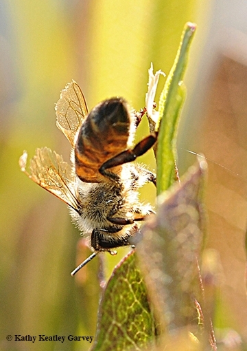 The honey bee genome is comprised of about 15,000 genes. (Photo by Kathy Keatley Garvey)
