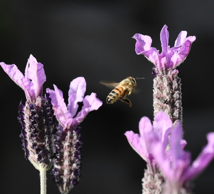 A honey bee heading toward Spanish lavender. The California Honey Festival will be abuzz all day Saturday in downtown Woodland. (Photo by Kathy Keatley Garvey)