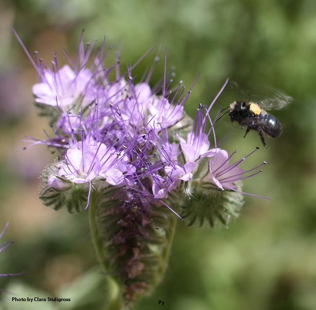 A blue orchard bee, Osmia lignaria (marked in yellow), heads for Phacelia tanacetifolia, also known as lacy phacelia. (Photo by Clara Stuligross)