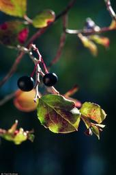 The farkleberry is related to blueberry, but more tolerant of alkaline soil.