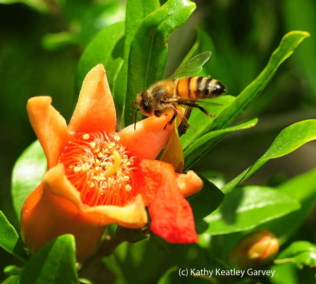 Honey bee heading toward pomegranate blossom. (Photo by Kathy Keatley Garvey)