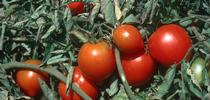 UC researchers seek organic growers of tomatoes, lettuce, spinach, carrots, radishes or cucumbers. for Food Blog Blog