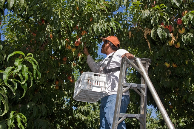 Peaches harvested early in the season have less time to grow so more fruit must be removed to allow remaining fruit to grow larger.