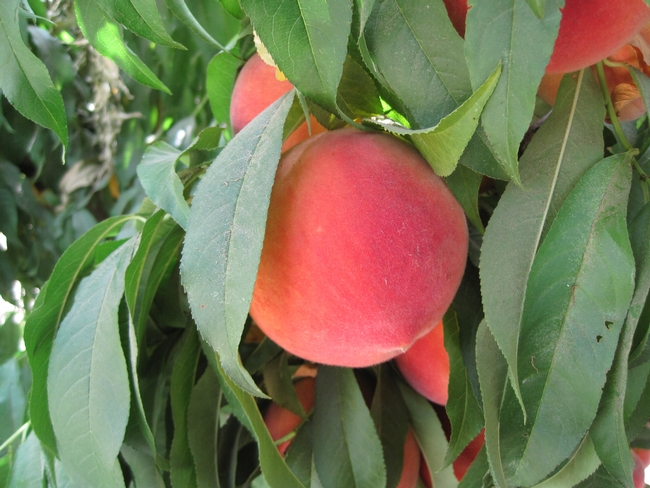 Major differences between extra-early and late harvest peaches are return price, yield and fruit thinning cost.