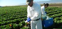 Ronald F. Bond collecting samples in the Salinas Valley. (Photo: M. L. Partyka) for Food Blog Blog