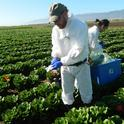 Ronald F. Bond collecting samples in the Salinas Valley. (Photo: M. L. Partyka)