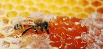 A honey bee sips honey from honeycomb. (Photo by Kathy Keatley Garvey) for Food Blog Blog