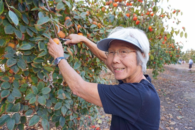 Jean Suan harvests persimmons, fruit that is easy to grow and creates a beautiful landscape display.