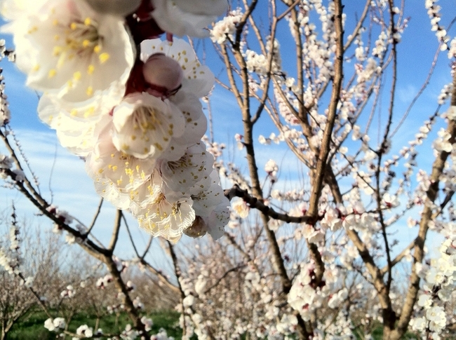 Apricot blossom (Photo: The Cloverleaf)
