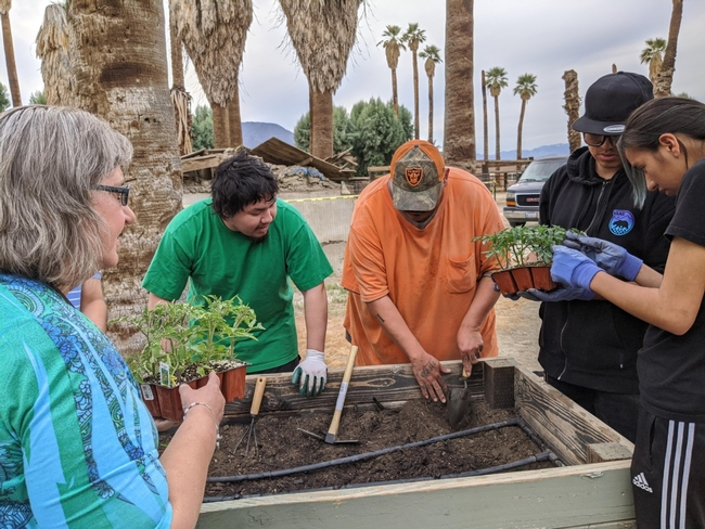 Members of the Torres Martinez Desert Cahuilla Indian Tribe plant vegetables and herbs in the A'Avutem (elders) garden on Feb. 27, 2020.