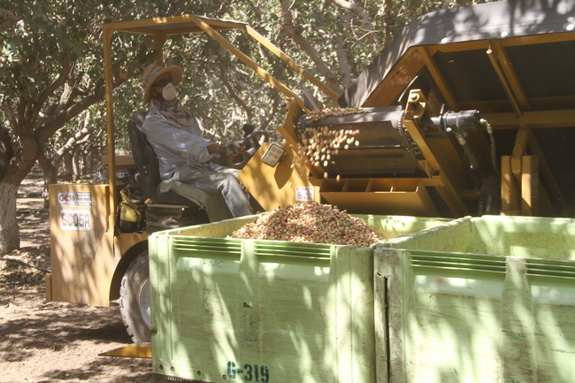 Growers considering planting pistachios can refer to a new UC study for estimated production costs and returns.