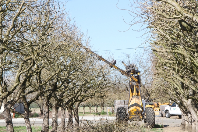Combined mechanical and hand pruning pistachio trees begins after the orchard achieves full bearing in year 12 or 13. A mechanical pruning company is hired to top the trees every year and to hedge half the trees every other year.