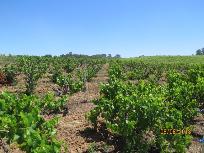 a vineyard with declining vines