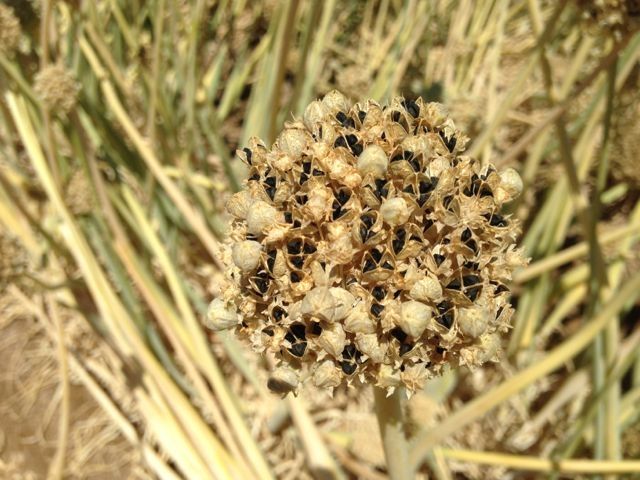 Onion umbel with seeds