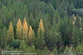 Trees killed by bark beetles on the Stanislaus National Forest in 1992. (Photo: Jack Kelly Clark)