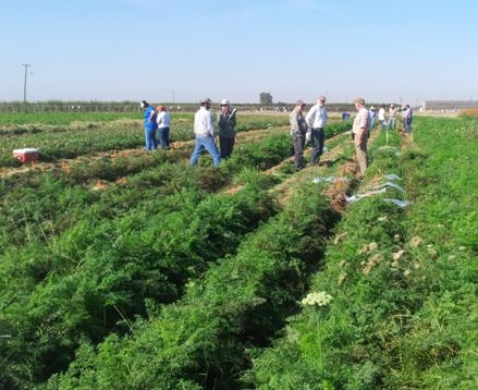 Carrot field day attendees evaluating carrot breeding lines at Kearney for root-knot nematode resistance and market traits.