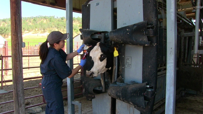 After preg checks, cattle are evaluated for overall health