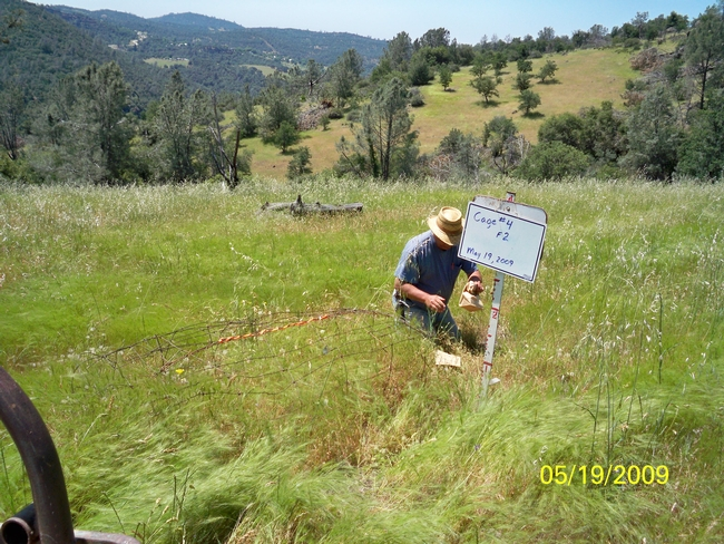 Martin Beaton of UC SFREC clipping peak standing crop forage on May 19th, 2009