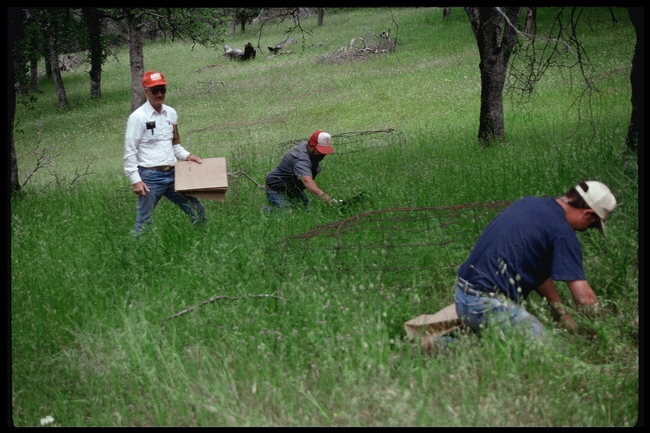 UC SFREC staff members taking forage clippings many years ago
