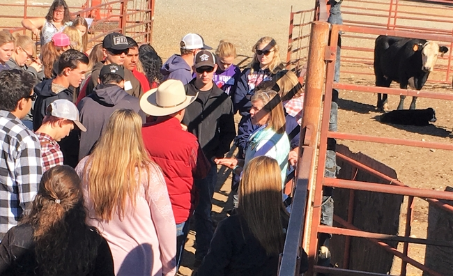 Dr. Nancy Martin, DVM works with students to assess the health of several cow-calf pair.
