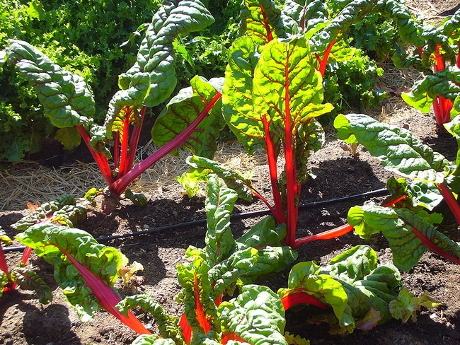 800px-Chard in the Victory Garden
