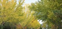 Ginkgo2 for Napa Master Gardener Column Blog