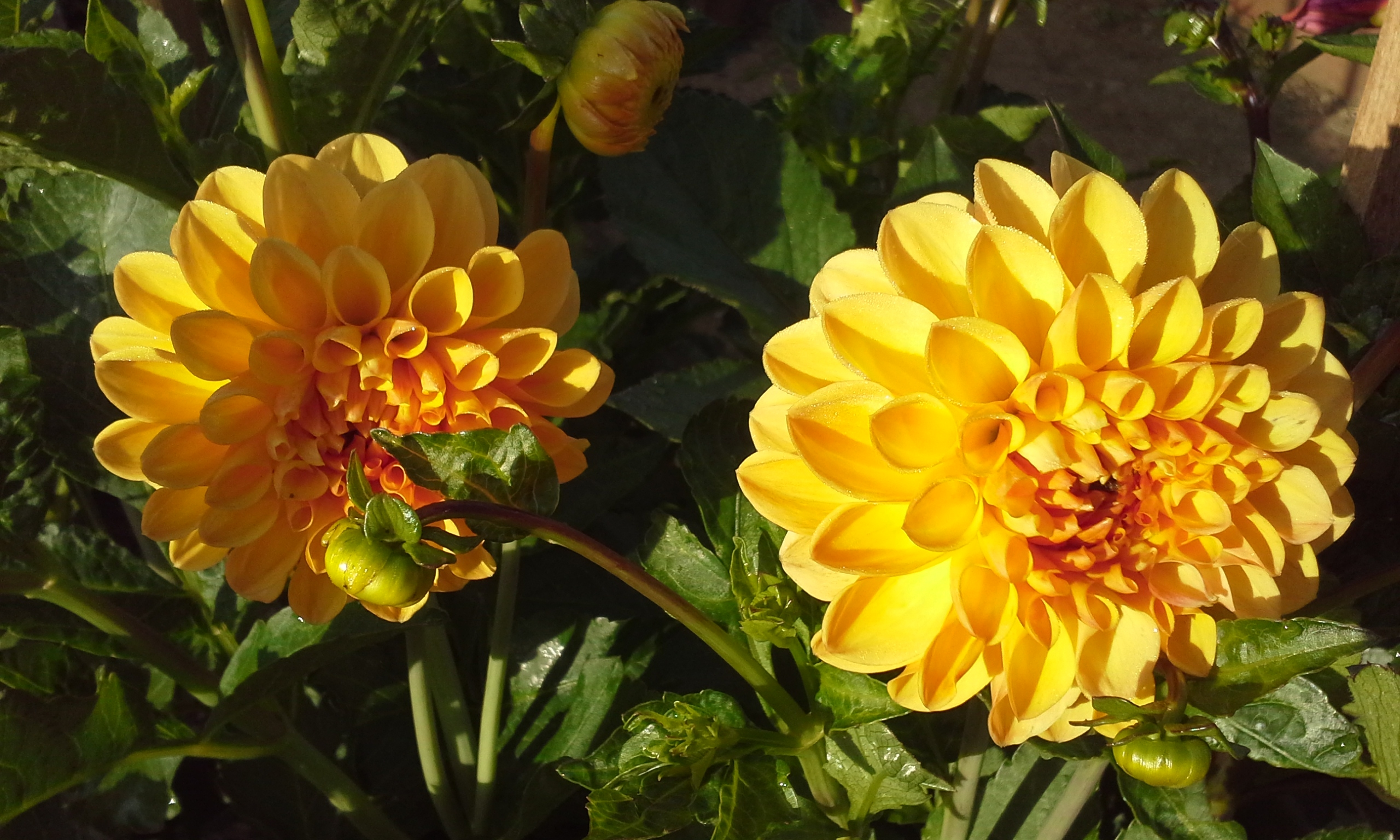 For the love of dahlias napa master gardener column anr blogs gw calhoun moon dahlia izmirmasajfo
