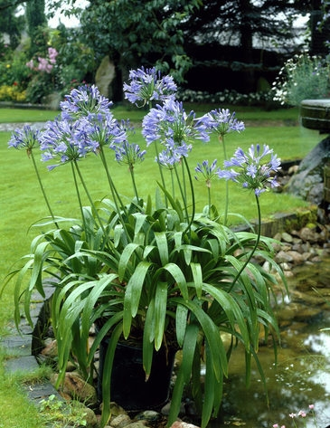 Agapanthus For Your Garden Napa Master Gardener Column