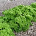 Curly Parsley in all its glory