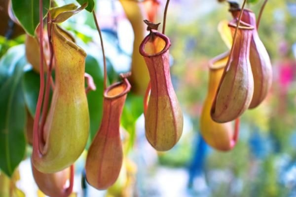 Carnivorous plants--the nectar is down inside, luring in the prey.  These are pitcher plants.  (The Daily Journal)