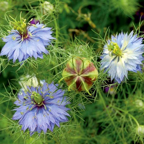 Love-in-a-mist, AKA black caraway or Nigella (Planet Natural)