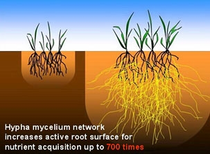 Consider adding mycorrhizal-fungi (available at nurseries)  (Green Bean Connection)