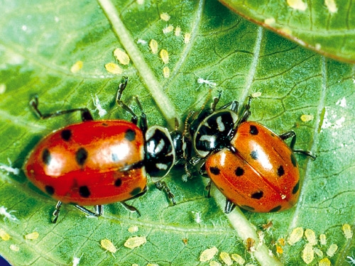 Adult convergent lady beetles, aka lady bugs, feasting on aphids (U of Maryland Extension)