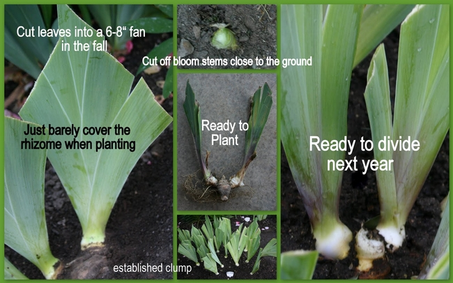 Planting iris rhizomes--there is plenty of information and videos on dividing and planting iris online  (Susanne Spricker)