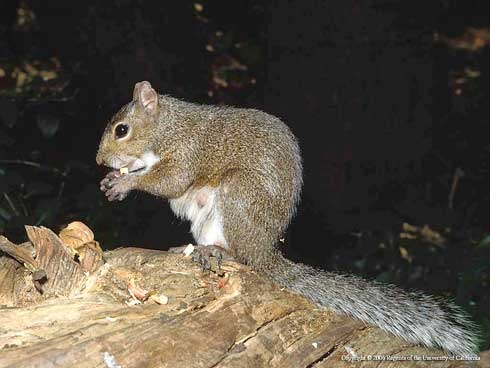 Eastern gray squirrel (Jerry P. Clark)