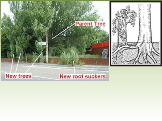 Root suckers.  Genus Populus, which includes poplar and aspen, are notorious for this.  The picture is not photo-shopped--this is exactly what this genus does when unattended! (slideplayer.com)