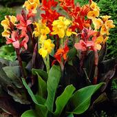 Colors of canna lily (HSN.com)
