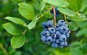 Blueberry bush--realizing it is not purple, but does have anthocyanin as most of the purple vegetables do as well (Good Housekeeping)