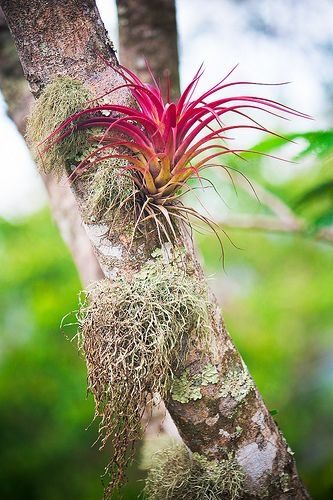 Bromeliad epiphyte in the wild (Pinterest)