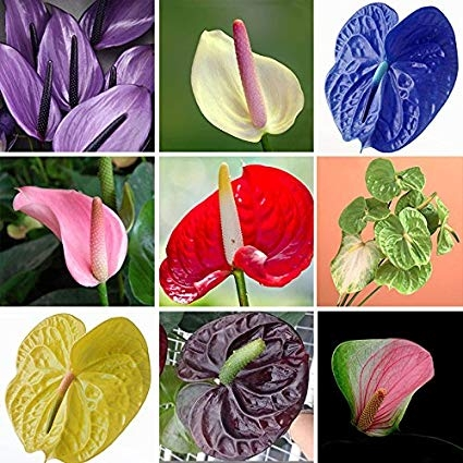 Anthurium.  Red is most common, but there are other colors, too.  (Amazon)