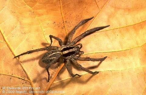 Wolf spider.  Notice it is not hairy like the tarantula. (UC IPM)