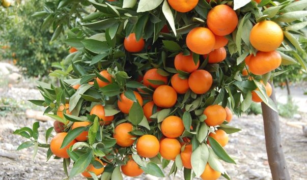 Citrus tree (UCR News, UC Riverside)