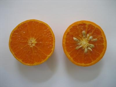 Different kinds of citrus seeds when you look carefully (Phys.org)
