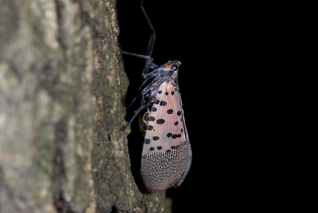 Spotted lanternfly-hojae.net520